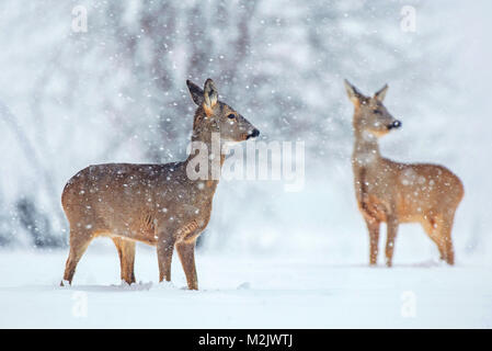 Wild roe deer standing in a snow covered field during snowfall - Stock Photo