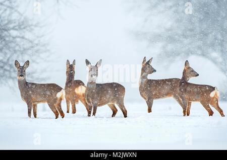 Roe deer herd in a field during snowfall - Stock Photo