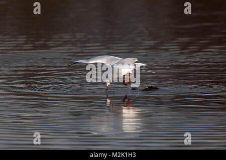Black-headed gull (Larus ridibundus), adult in winter plumage, fishing by leaping off the water's surface into a - Stock Photo