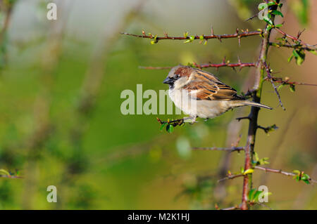 House sparrow (Passer domesticus), adult male, perched on a Pyracantha twig in a garden in Sowerby, North Yorkshire. - Stock Photo