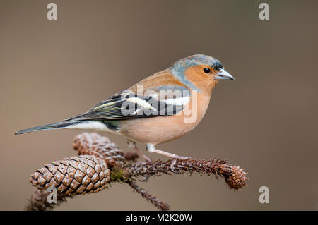 Chaffinch (Fringilla coelebs), adult male perched on a pine twig at Loch Garten, Inverness-shire, Scotland. March. - Stock Photo