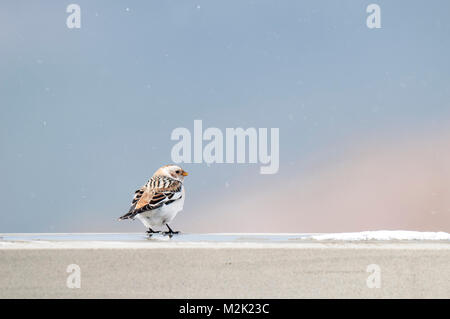 Snow bunting (Plectrophenax nivalis), adult male in winter plumage standing on a wall in a light snow shower on - Stock Photo