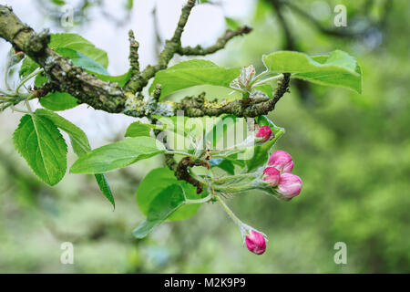 Tree branch with pink buds before blossom in spring,meadow near Stoke on Trent,Staffordshire,United Kingdom.Springtime - Stock Photo