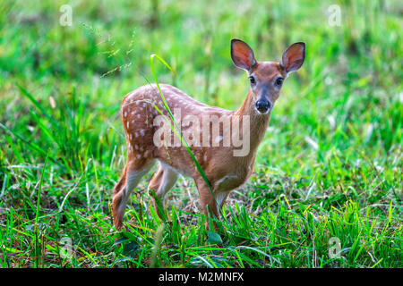 Horizontal shot of a white-tailed fawn in a green field looking toward the camera. - Stock Photo