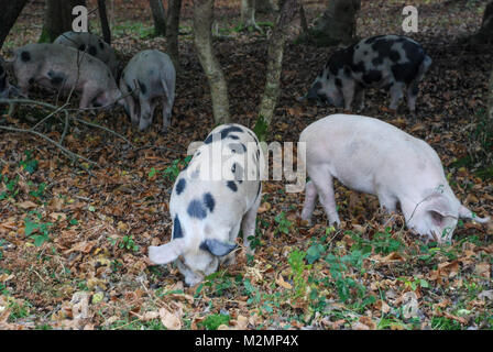 Pigs foraging for acorns in the New Forest National Park under the ancient commoners right of pannage, Hampshire, - Stock Photo