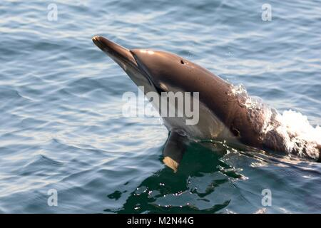 Close up of a common dolphin jumping out of the water - Stock Photo