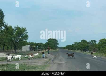 Shepherd with his goat flocking on the M10 road between Kazungula and Sesheke in southern Zambia parallel to the - Stock Photo