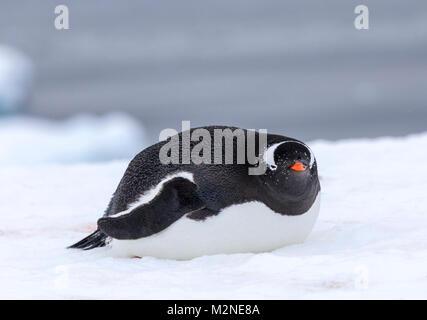 Long-tailed Gentoo penguin; Pygoscelis papua; Cuverville Island; Antarctica