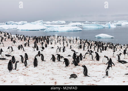 Long-tailed Gentoo penguin; Pygoscelis papua; Cuverville Island; Antarctica - Stock Photo