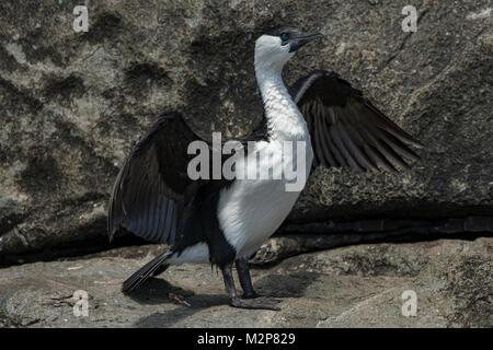 Black-faced Cormorant, Phalacrocorax fuscescens at Cape Hauy, Tasman NP, Tasmania, Australia - Stock Photo