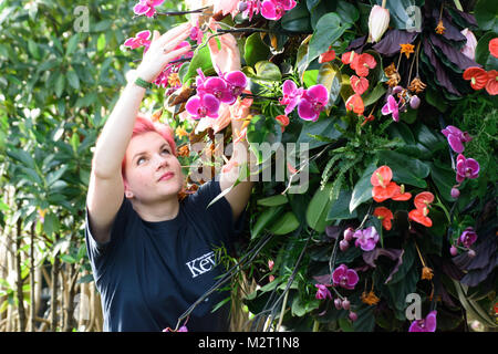 Kew Gardens, London UK. 8th Feb, 2018. The finishing touches are made to a display of orchids at the Princess of - Stock Photo