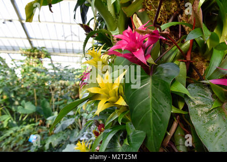 London, UK.  8 February 2018.  Displays in Kew Garden's first Thai-inspired Orchids Festival, which celebrates Thailand's - Stock Photo