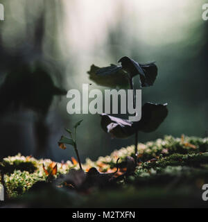 beech seedling in the forest. Vitamin-rich food for the animals after the winter. - Stock Photo