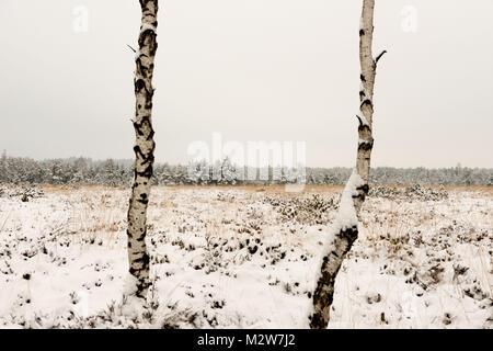 Birch trees in a moor, winter mood - Stock Photo