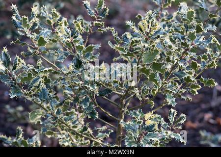 Ilex aquifolium 'Ferox argentea'. Silver hedgehog holly foliage in the winter. UK - Stock Photo