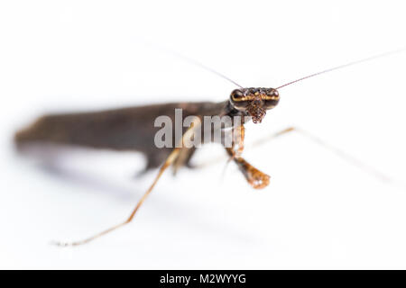 close up of a praying mantis of only 2 inches long and brown color isolated on a white background - Stock Photo