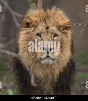 ZSL London Zoo, Regent's Park, London. 7 Feb 2018. The Asiatic Lions are counted at the Zoo's annual stocktake. - Stock Photo