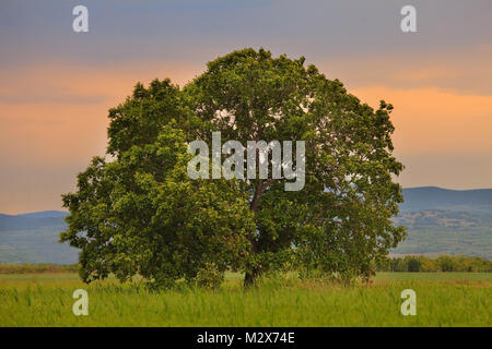 big oak tree in summer green meadows, sunset time with red sky in background - Stock Photo