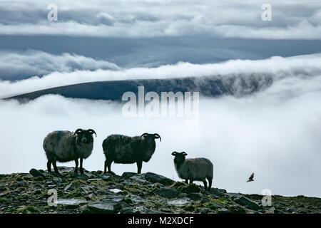 Sheep above a bank of fog, Achill Island, County Mayo, Ireland. - Stock Photo