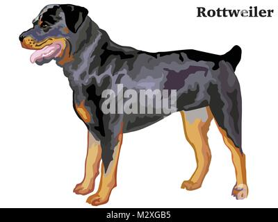 Portrait of standing in profile rottweiler, vector colorful illustration isolated on white background - Stock Photo