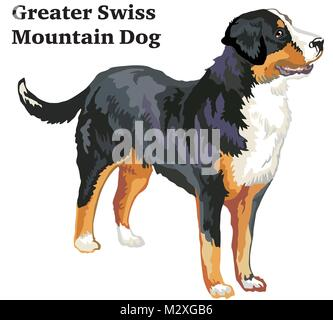 Portrait of standing in profile Greater Swiss Mountain Dog, vector colorful illustration isolated on white background - Stock Photo
