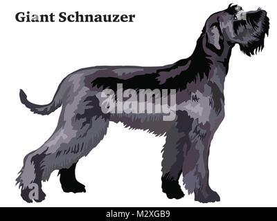 Portrait of standing in profile Giant Schnauzer, vector colorful illustration isolated on white background - Stock Photo