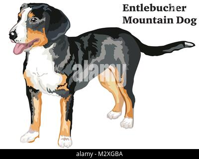 Portrait of standing in profile Entlebucher Mountain Dog, vector colorful illustration isolated on white background - Stock Photo