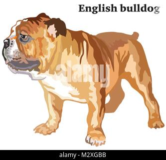 Portrait of standing in profile dog English bulldog, vector colorful illustration isolated on white background - Stock Photo