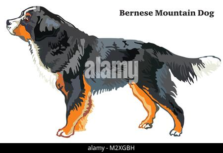 Portrait of standing in profile Bernese Mountain Dog, vector colorful illustration isolated on white background - Stock Photo