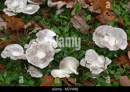 White domecap mushroom, Lyophyllum connatum - Stock Photo