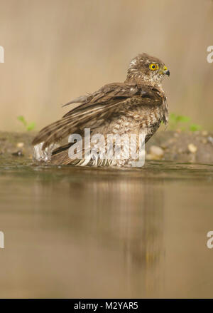 Eurasian Sparrowhawk (Accipiter nisus) juvenile male, bathing in pool, in woodland, Vojvodina, Serbia, June - Stock Photo