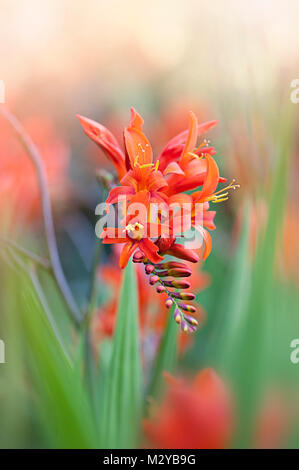 Close-up of the summer flowering montbretia Crocosmia 'Lucifer' vibrant red flowers - Stock Photo