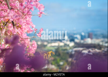 Flowering Bougainvillea climbing plant with view of Los Angeles in the background photographed during Summer time - Stock Photo