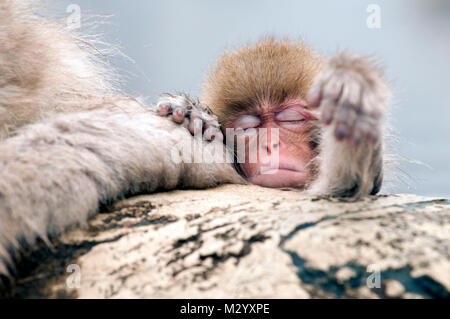 Japanese macaque or snow japanese monkey (Macaca fuscata) baby, Japan - Stock Photo
