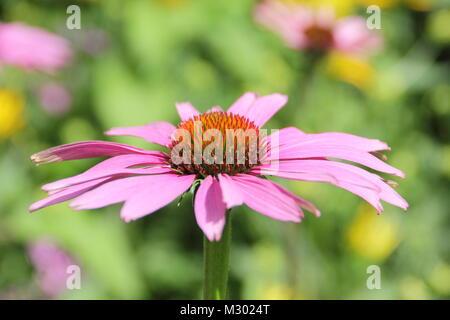 Echniacea purpurea 'Magnus' coneflower,summer, UK - Stock Photo