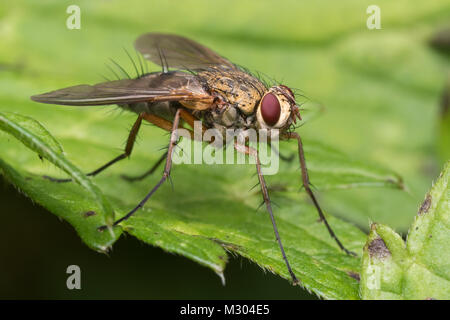 Tachinid fly (Dexiosoma caninum) perched on a leaf. Tipperary, Ireland. - Stock Photo