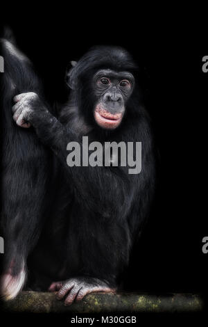 Young Chimp looking thoughtful - Stock Photo
