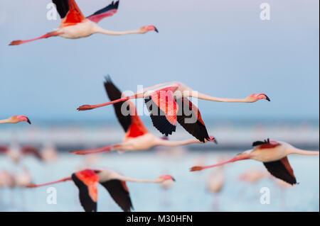 European Flamingo, Great Flamingo, Phoenicopterus roseus, in Flight, Dusk, Saintes-Maries-de-la-Mer, Parc naturel - Stock Photo