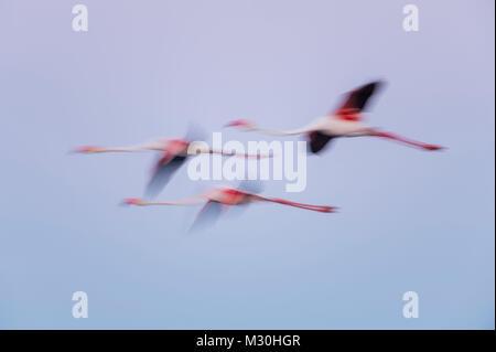 European Flamingo, Great Flamingo, Phoenicopterus roseus, at Dawn in Flight, Long Exposure, Saintes-Maries-de-la - Stock Photo