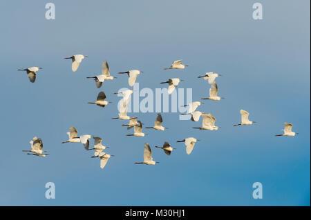 Little Egret, Egretta garzetta, in Flight, Saintes-Maries-de-la-Mer, Parc naturel régional de Camargue, Languedoc - Stock Photo