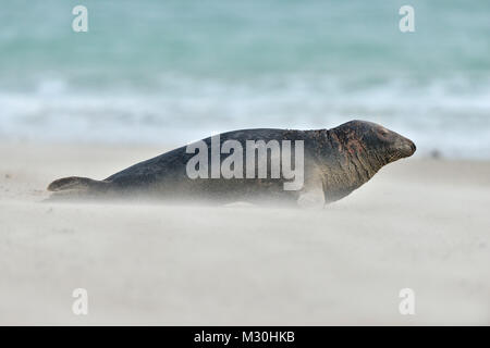 Grey Seal, Halichoerus grypus, Male on the Beach with waving Sand, Helgoland, Dune, North Sea, Island, Schleswig - Stock Photo