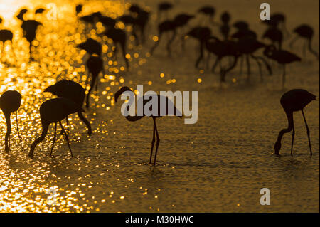 European Flamingo, Great Flamingo, Phoenicopterus roseus, at Sunrise, Saintes-Maries-de-la-Mer, Parc naturel régional - Stock Photo