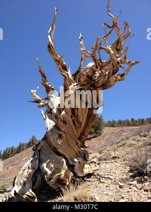 The Ancient Bristlecone Pine Forest is a protected area high in the White Mountains in Inyo County in eastern California - Stock Photo