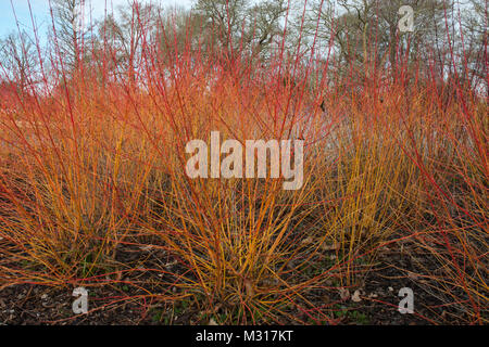 'Midwinter Fire' Cornus sanguinea/ dogwood. The vivid bright red and orange stems giving colour in winter and early - Stock Photo