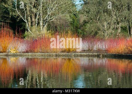Vivid mixed dogwood/ willow. Cornus sanginea/ 'midwinter fire'. Willow/ 'Golden ness', giving bright winter colour - Stock Photo