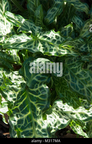 Attractive green foliage with white marbleing and veins. Leaves of the Italian arum 'arum italicum', marmoratum', - Stock Photo