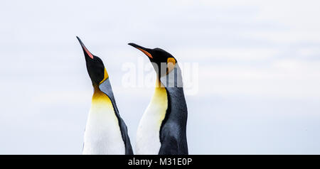 A pair of King Penguins taken at Gold Harbour,  South Georgia. - Stock Photo