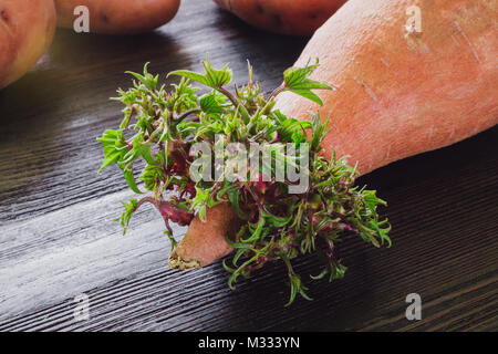 Sweet Potato Sprouting Leaves on Dark Wood Table with Red Potatoes - Stock Photo