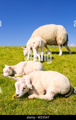 Texel sheep and lambs in the grass on the island of Texel in The Netherlands on a sunny day. - Stock Photo