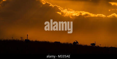 Ostrich and Topi at Sunset in Nairobi National Park - Stock Photo